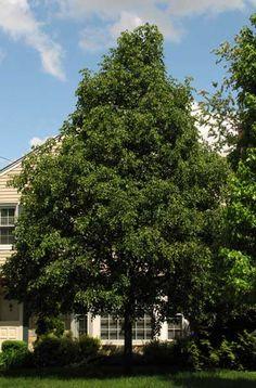 greenspire little leaf linden street tree - Google Search