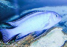 "(1) Pseudotropheus socolofi ""Mara Point"" 1.5 inch African Cichlid"