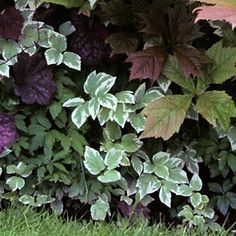 12 great foliage border plants  Bishop's weed Aegopodium podagraria 'Variegatum'  With its two-tone leaves, it adds pop to border edging. In the Southwest deserts, it grows in zone 12 only