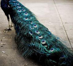 who, who i ask, designed such exquisite brilliance as the peacock tail feather??