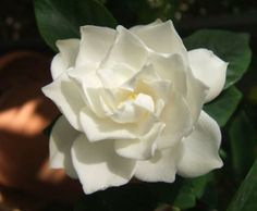 The Gardenia is probably one of my all time favorite flowers. I remember them being in my bridal bouquet.