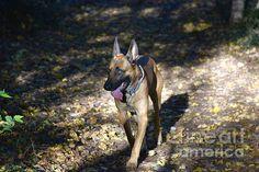 http://fineartamerica.com/featured/1-belgian-malinois-photos-by-zulma.html?newartwork=true  #Zulma #Belgium #Malinois #canine #Aviano #Italy #Europe