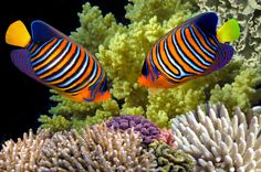 Regal Angelfish, Red Sea, Egypt jigsaw puzzle in Under the Sea puzzles on…