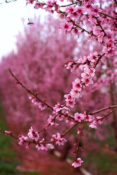 beautiful apple blossoms....