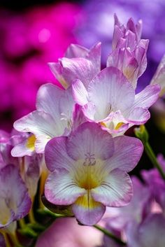 Freesias.
