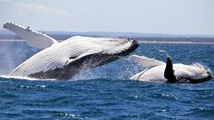Late season whale frolic at Jervis Bay a boon for Huskisson: Video