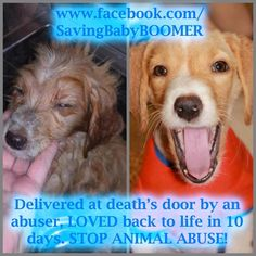 Baby Boomer was abandoned to die on a back road. He was infested with fleas and mites and covered in chunks of dead animal and feces. He weighed 5 pounds. This is what 10 days of loving care will do! All About Animals, Save Animals, Animal Shelter, Animal Rescue, Stop Animal Cruelty, Animal Protection, All Hero, Take Me Home, 5 Pounds