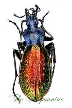 Carabidae : Chrysotribax hispanus dromensis pair - The Bugmaniac INSECTS FOR SALE BUTTERFLIES FOR SALE INSECTS FOR SALE BEETLES FOR SALE BEETLES BY ECOZONE PALEARTIC ECOZONE + N-AMERICA CARABIDAE