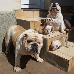 Meet the Bacons! Sunday morning photo. #englishbulldog #Padgram