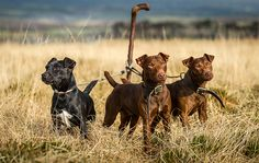The Patterdale terrier is a tough, hardy, beautiful dog bred in the Lakeland fells, with a doughty character and a wonderful soft side