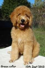 Standard poodle puppies for sale australia