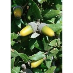 1 Kg. Meşe Palamudu Toz Ekstresi,Quercus Spp,Oak Extract - Doğal Tedavi - İbrahim Gökçek - Alternatif Tıp - Bitkisel Ürünler - İksir - Alovera - Bitkisel Sağlık Ürünleri - Şifalı Bitkiler - Bitkisel Setler - Bitkisel İlaçlar - Herbalist İlaç Değil Bitkisel Gıda Takviyesidir. www.alternatiftip.com.tr