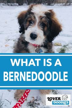 Have you been thinking about getting a doodle puppy? In your search, you may have stumbled on the Bernedoodle. But, what exactly is this breed? #Bernedoodle #DoodlePuppy #BerneseMountainDog #PoodleMix Bernedoodle Puppy, Cavapoo, Goldendoodle, Doodle Dog Breeds, Puppy Classes, Poodle Mix, Mountain Dogs, Family Dogs, New Puppy