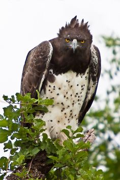 Martial Eagle (Polemaetus bellicosus) is a large eagle found in open and semi-open habitats of sub-Saharan Africa. It is the only member of the genus Polemaetus.