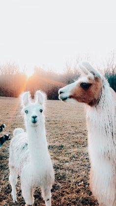 Karl the lama Cute Baby Animals, Farm Animals, Animals And Pets, Funny Animals, Alpacas, Cute Creatures, Beautiful Creatures, Animals Beautiful, Mundo Animal