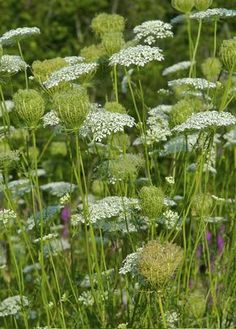 Queen Anne's Lace. Requires little attention and thrives in poor soil and dry conditions. Enjoys full sun. Look for hairy stem and purple flower in center to distinguish from poison hemlock.