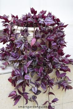 How to care for an Inch Plant (Tradescantia zebrina). Also commonly known as the Wandering Jew Plant or Wandering Dude Plant, this is a fast growing, colorful and easy to care for houseplant that I would definitely recommend.