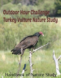 Outdoor Hour Challenge - Turkey vulture bird nature study Bristlecone Pine, Ground Squirrel, River Otter, Mountain Lion, Nature Study, Tree Tops, Vulture, Field Guide, Otters