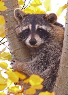 raccoon face. . . .