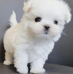 Maltese Dog For Sale, Mini Maltese, Maltese Dogs, Teacup Maltese, Yorkie Poo Puppies, Yorkie Poodle, Cute Puppies, Chihuahua, Micro Teacup Puppies