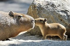 Mommy and baby capybaras! Don't know what they are but they sure are cute!