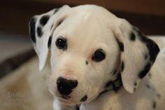 Remington, my beautiful 10-week-old Dalmatian puppy.