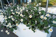 Pachystegia insignis - Marlborough Rock Daisy. Yes it's native to Marlborough NZ. The best way to care for this plant is to plant it with rocks and scrapy dry soil sheltered from excessive rain. Go ahead and neglect it. It'll will shine with glorious bold flowers and wonderful tough grey green leaves. Let it scramble down a bank or retaining wall. This is what it is used to in the wild rocky coastal parts of Marlborough.