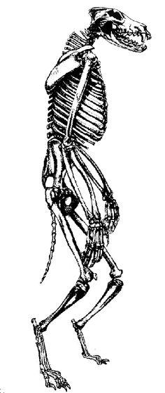 #Werewolf #Skeleton Study by Orangehusky.deviantart.com  Excellent reference!