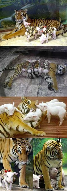 A tiger mother lost her cubs from premature labour, shortly after she became depressed and her health declined. They wrapped piglets up in tiger cloth and gave them to the tiger. The tiger now loves these pigs and treats them like her babies. - Imgur