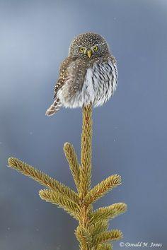 Awesome Pygmy Owl...
