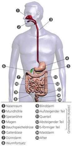 anatomie mensch innere organe frau und mann ansicht. Black Bedroom Furniture Sets. Home Design Ideas
