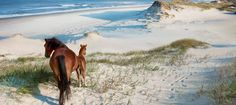 wild horses of the Outer Banks, North Carolina