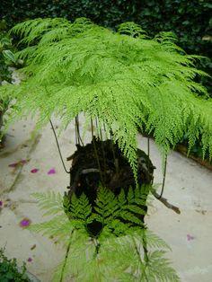 Garden Crafts, Garden Projects, Garden Art, Garden Design, Deck Design, Ferns Garden, Garden Gates, Shade Garden, Fern Plant
