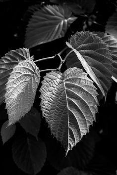Leaf Structures and Patterns in Black and White - The Structures and Patterns of. - Leaf Structures and Patterns in Black and White – The Structures and Patterns of Leafs in Black a - Black And Grey Rose, Black And White Leaves, Black And White Photo Wall, Black And White Aesthetic, White Leaf, Black And White Photography, Beautiful Rose Flowers, White Flowers, Rose Reference