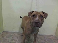Manhattan Center AYA – A1036718 FEMALE, BROWN, PIT BULL MIX, 1 yr OWNER SUR – ONHOLDHERE, HOLD FOR DOH-NHB Reason ATT ANIMAL Intake condition UNSPECIFIE Intake Date 05/17/2015