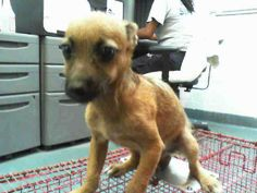 SAFE --- PUPPY in Miami KILL SHELTER FRODO  (A1583325) I am a male brown Terrier mix.   The shelter staff think I am about 13 weeks old.   I was found as a stray and I may be available for adoption on 12/26/2013. — hier: Miami Dade County Animal Services. https://www.facebook.com/photo.php?fbid=690879877613085&set=a.470960256271716.114441.191859757515102&type=3&theater