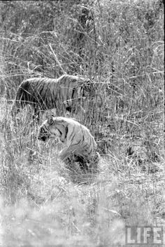 Tiger Hunting Photographs of India -...Dark Road to Darjeeling....Deanna Raybourn