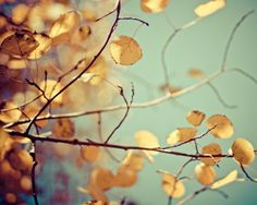 autumn fall foliage aspen nature photograph / gold by shannonpix