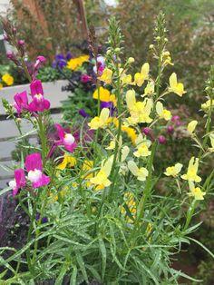 Linaria Fairy Bouquet Blend - Botanical Interests