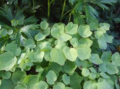 Vancouveria hexandra-- Inside out flower or Duck-foot. PacNW Native Deciduous ground cover, good for weed suppression Poisonous Plants, Medicinal Plants, Short Plants, Ground Covering, Leaf Shapes, Shade Garden, White Flowers, Perennials, Planting Flowers