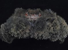 Cette improbable peluche anthropomorphique est un crabe du genre Banareia, Papouasie-Nouvelle-Guinée