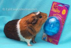 Cali Cavy Collective: a blog about all things guinea pig: Guinea Pig Toys: Egg-cersizer treat dispenser