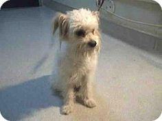 Pasadena, CA - Poodle (Miniature) Mix. Meet A368659, a dog for adoption. http://www.adoptapet.com/pet/11980928-pasadena-california-poodle-miniature-mix