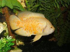 Albino Tiger Oscar