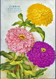 Elegant Double Zinnia     Fantasy Zinnia     Lilliput Zinnia     Orange Zinnia         Giant Double      Love the mix of colors Thought th...