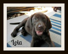 Meet Miss Lola!! I am a super sweet Chocolate Lab mix, and I am almost 11 weeks. #adopt #dog #sponsor  http://www.lsawl.org/best-friends-for-adoption/lola