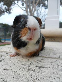 photographichistoryofmylife:    Guinea-Pig