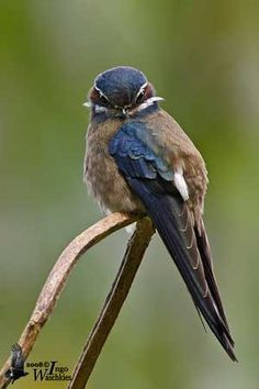 whiskered treeswift - Google Search