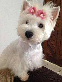 Pretty in Pink~what a precious little Westie girl! Westies, Westie Puppies, Cute Puppies, Dogs And Puppies, Chihuahua Dogs, Doggies, Bichons, West Highland Terrier, Beautiful Dogs