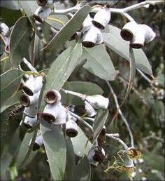 Eucalyptus niphophila - Ecosia